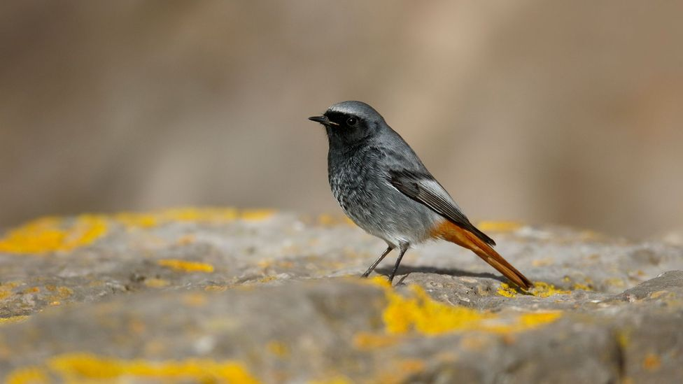 The endangered black redstart has recently made a return to the centre of London (Credit: Getty Images)