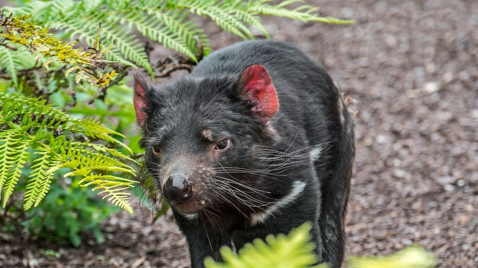 Tasmanian devils face a mysterious form of face cancer that could threaten their survival (Credit: Getty Images)
