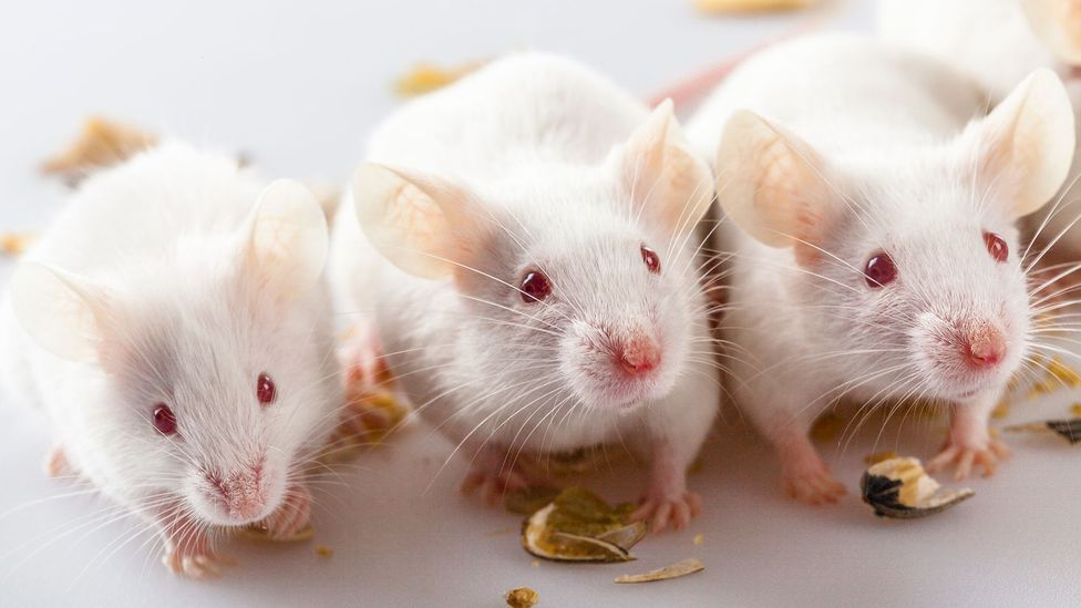 Recent research found mice that had been fed particulate matter showed signs of altered immune gene expression (Credit: Getty Images)