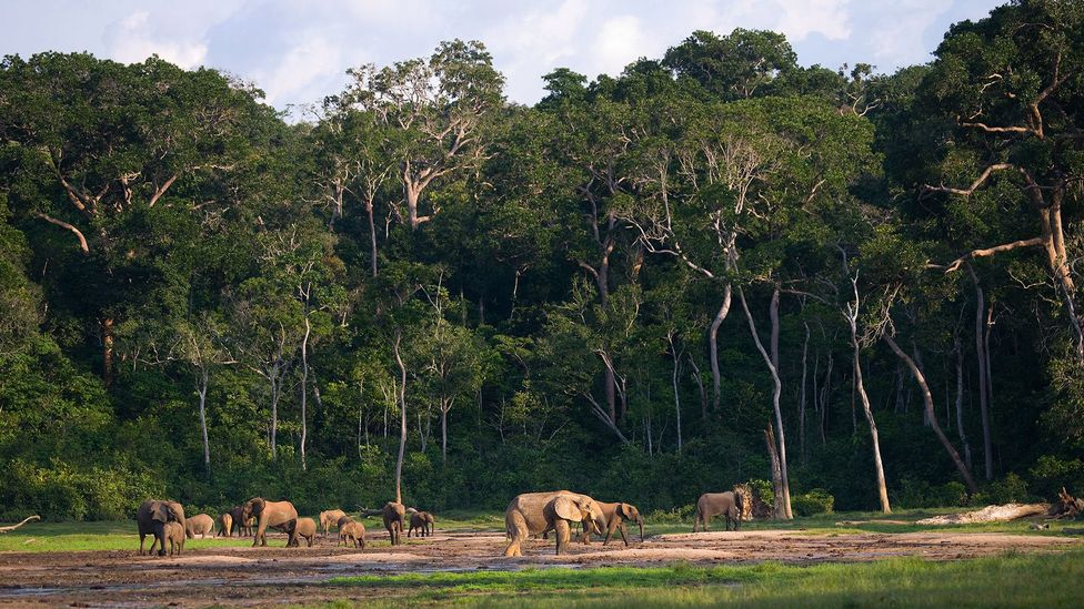 Forest elephants rarely emerge from the dense jungles where they live but listening for their calls can provide rich information about them (Credit: Getty Images)