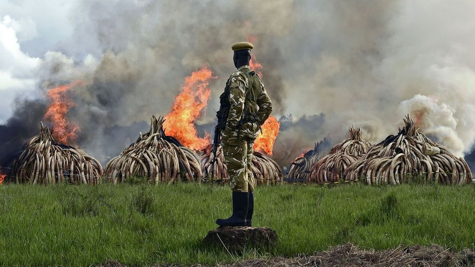 Monitoring social media for posts linked to illegal wildlife goods like ivory can help the authorities to disrupt the supply chains (Credit: Getty Images)