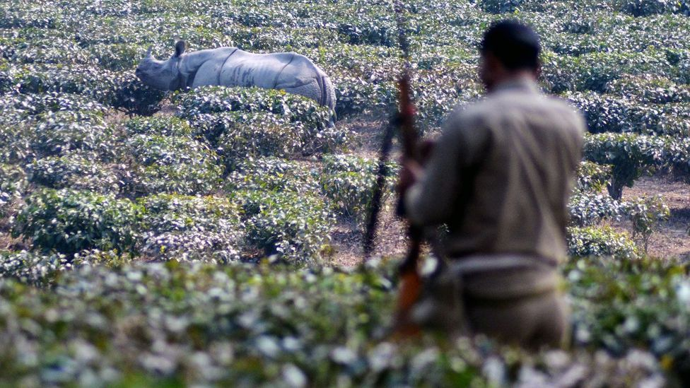 Poaching threatens some species, like rhinos, so much that they need to be kept under 24 hour armed guard to keep them safe (Credit: Getty Images)