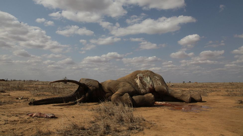 Poaching takes a devastating toll on elephant populations as often the biggest and most experienced animals are targeted (Credit: Getty Images)