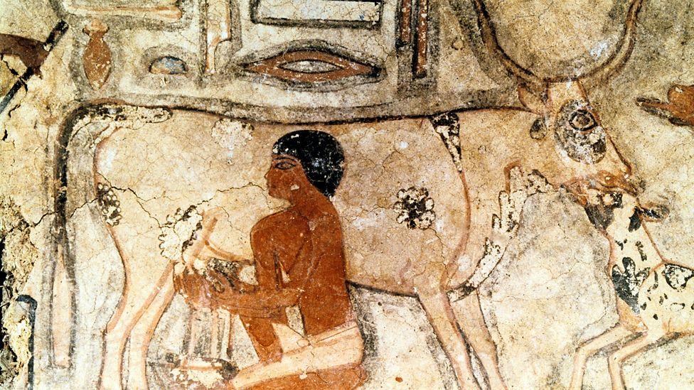 Artwork from the tomb of Methethi in Egypt, dated to around 2350BC, shows an ancient Egyptian milking a cow (Credit: Getty)