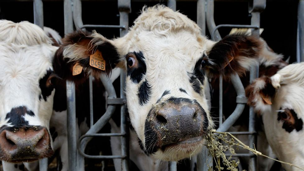 Dairy cows munch on alfalfa in north-western France, a part of the world where people would have adapted to drinking milk around 3,000 years ago (Credit: Getty)