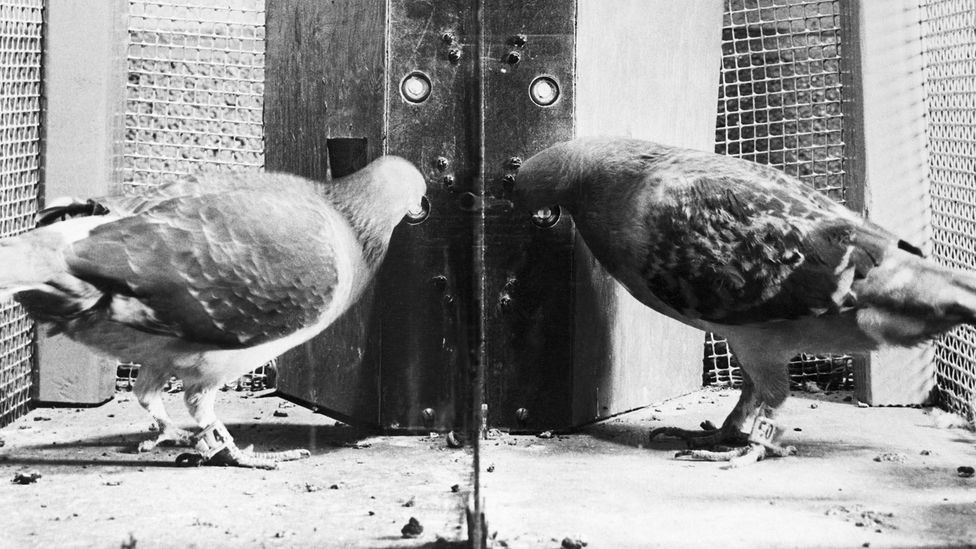 Two pigeons in a box developed by psychologist B.F. Skinner are studied as part of research into operant conditioning (Credit: Getty Images)