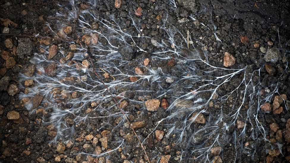 Fungi produce vein-like threads called mycelium that are finding a myriad of uses from creating medical bandages to building materials (Credit: Alamy)