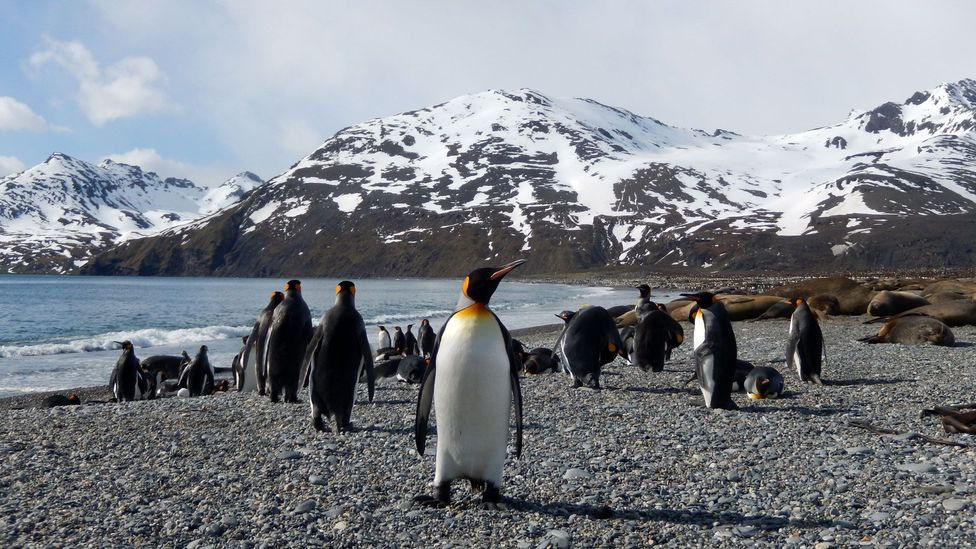 South Georgia is now home to large populations of fur and elephant seals and around 400,000 king penguins (Credit: Shafik Meghji)