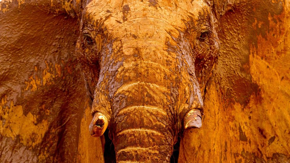 The ivory trade may have been outlawed in most countries, but elephants' lives are still at risk from illegal poachers (Credit: Alamy)