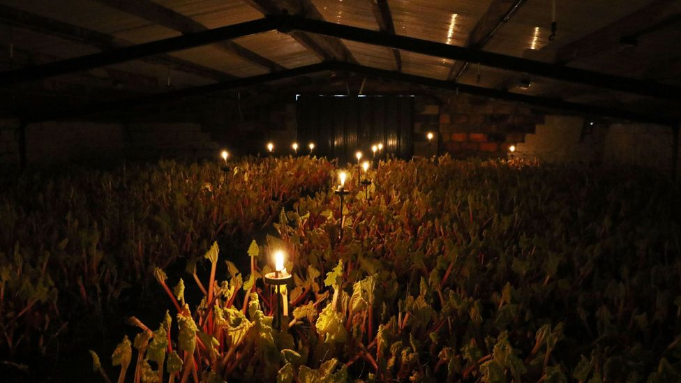Inside the forcing sheds, the rhubarb grows so quickly that you can hear it (Credit: Mike MacEacheran)