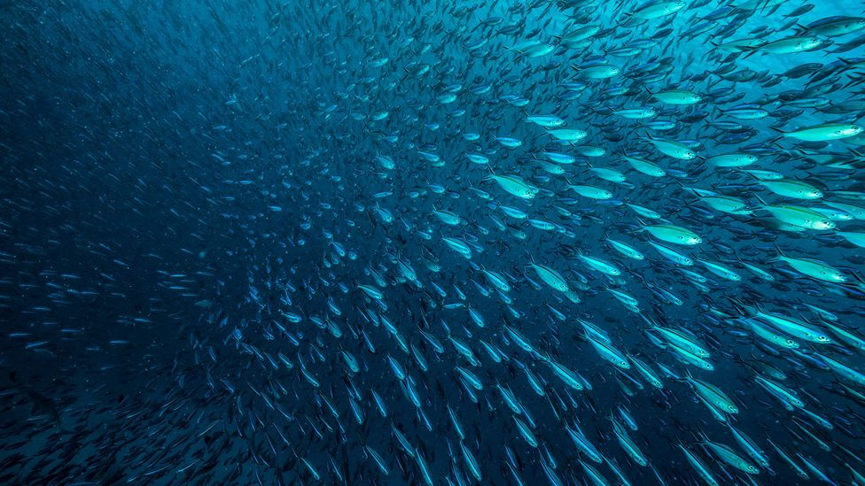 School of sardines (Credit: Getty Images)