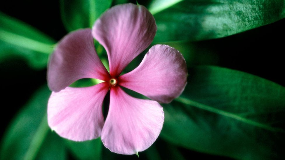 The Madagascar periwinkle contains two alkaloids that are used to fight leukaemia and Hodgkin's disease (Credit: Getty)