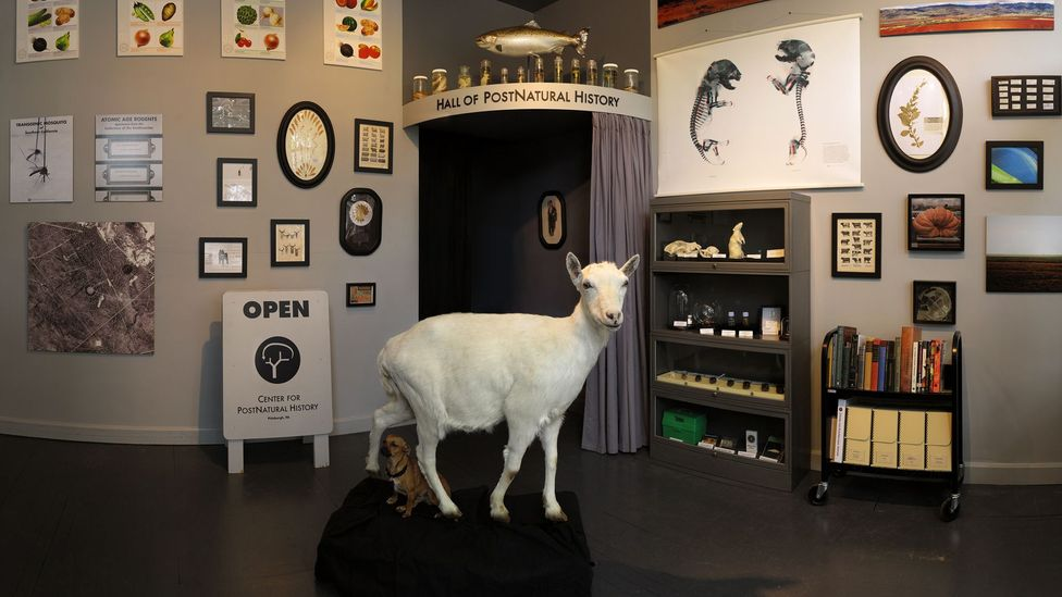 Freckles the BioSteel goat, one of the unusual exhibits at the Center for PostNatural History (Credit: Center for PostNatural History)
