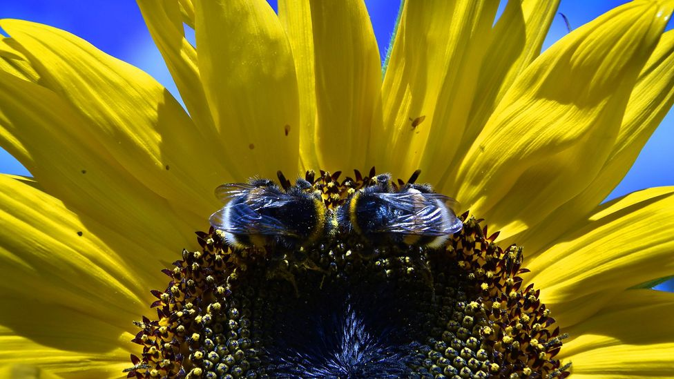 In the future, modified bees could shape entire ecosystems (Credit: Getty Images)