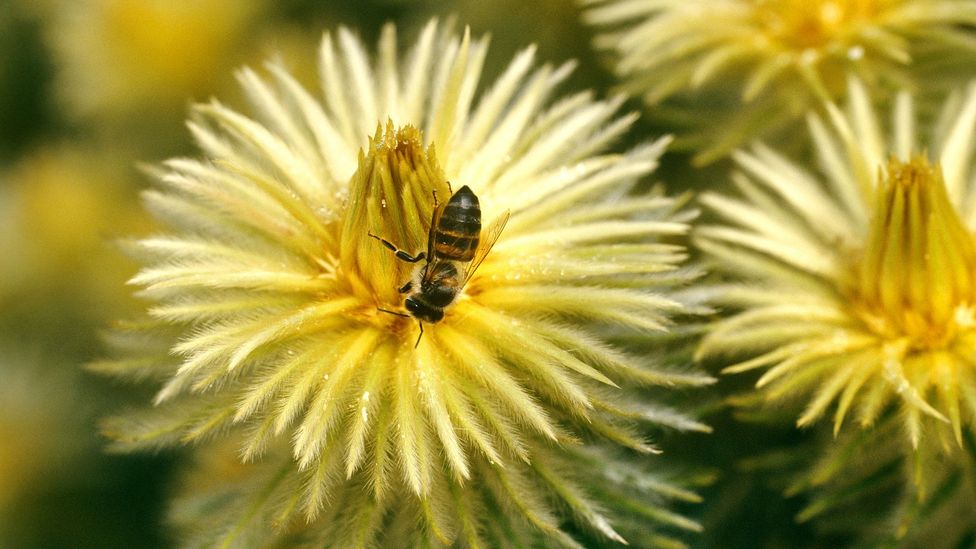 Unlike honey bees in the Americas or Australia, African honey bees are native (Credit: Getty Images)