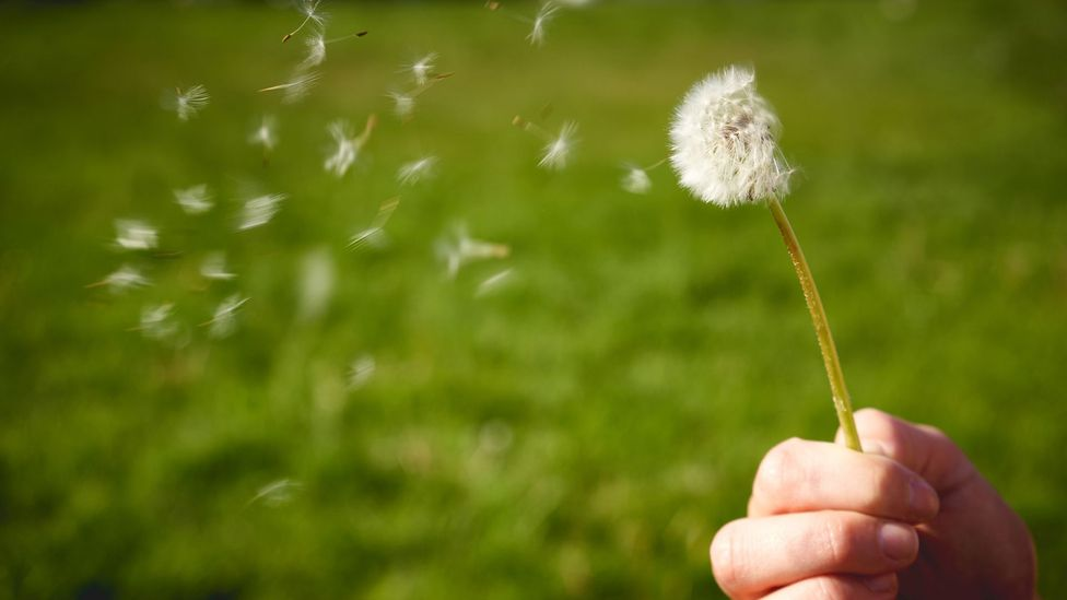 As much as 30% of the population is affected by hayfever as the pollen counts rise (Credit: Getty Images)