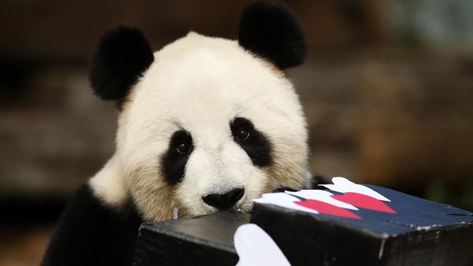 "Although no longer ""endangered"" there are still just 500 to 1,000 adult pandas left in the wild, in six isolated mountain ranges in China (Credit: Getty Images)"