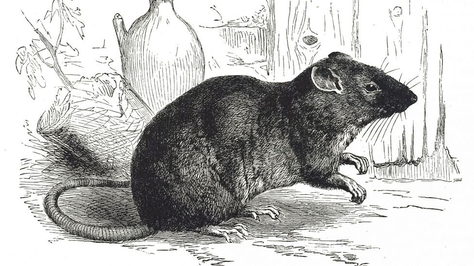 A Nineteenth Century engraving of a brown rat also referred to as the common rat, street rat, sewer rat, Hanover rat, Norwegian rat, or wharf rat (Credit: Getty Images)