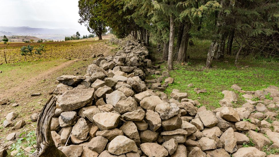 A stone wall marks the boundary between farmers' fields and Ethiopia's sacred forests (Credit: Sarah Hewitt)
