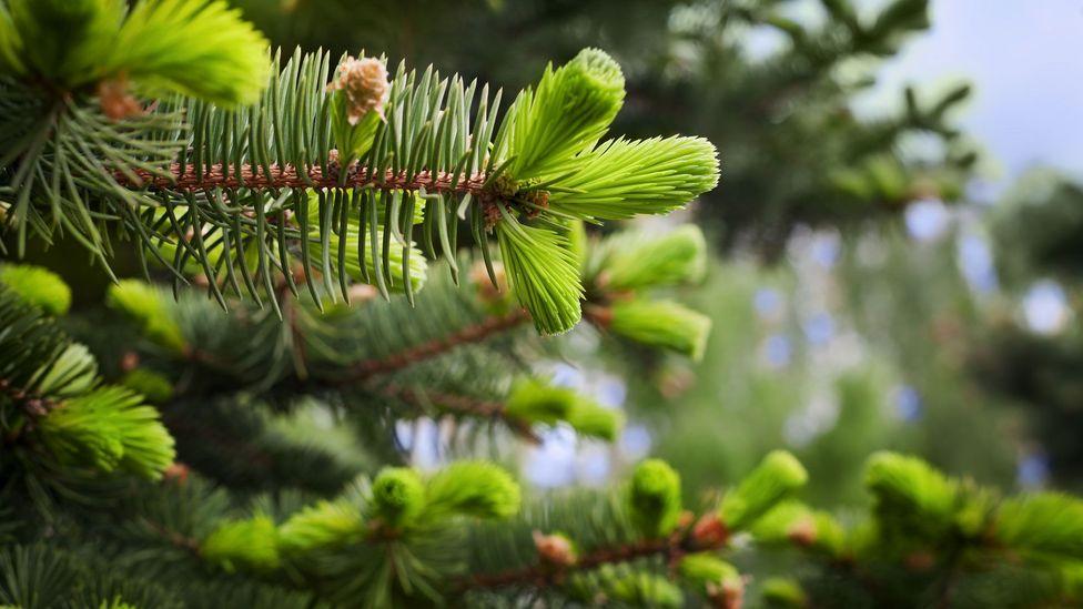 In Skagway, Alaska, spruce tips serve as currency (Credit: Julia_Sudnitskaya/Getty Images)
