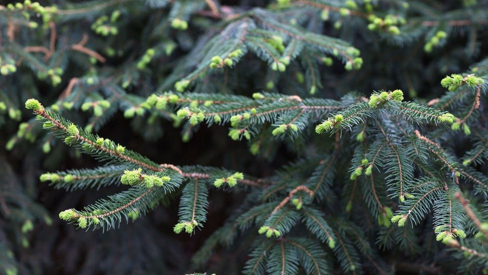 Spruce tips, which appear fluorescent green, are only available for a few weeks in spring (Credit: Anna Chaplygina/Getty Images)