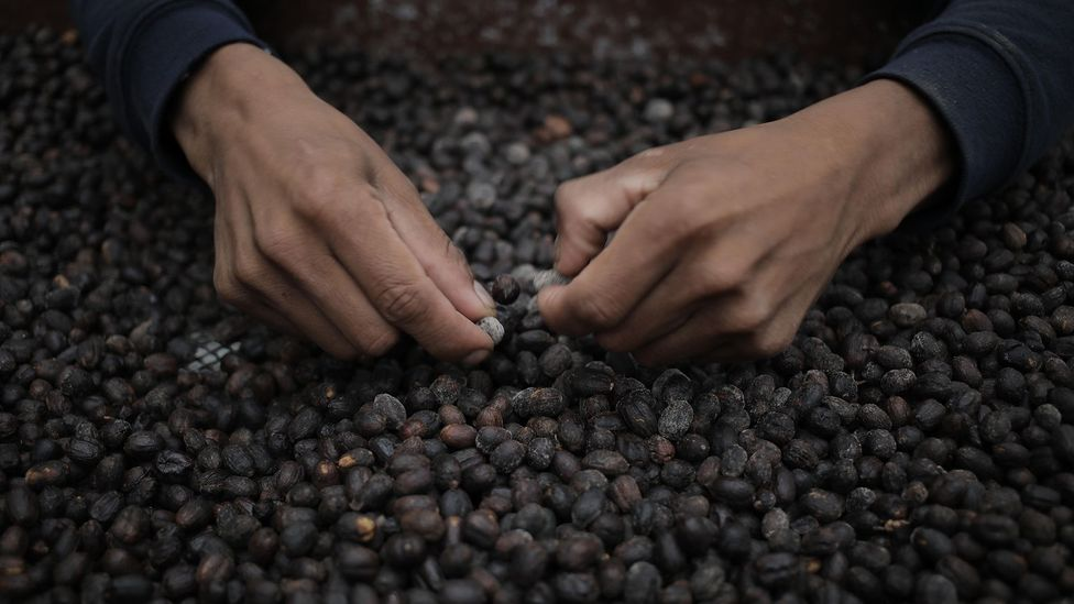 A worker sorts coffee beans at the Lamastus Family Estate farm in Boquete, Panama (Credit: Alamy Stock Photo)