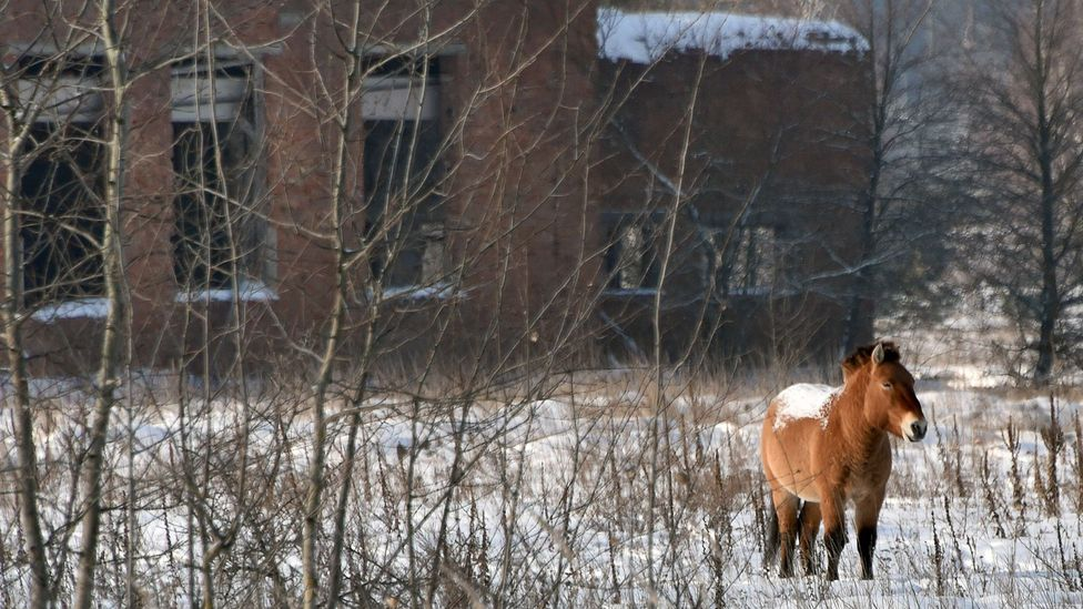 Wild horses among the rich wildlife that has flourished in the abandoned landscape around Chernobyl (Credit: Getty Images)