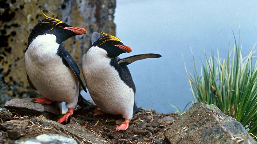 Penguins are known to form closely bonded same-sex pairs (Credit: Getty Images)