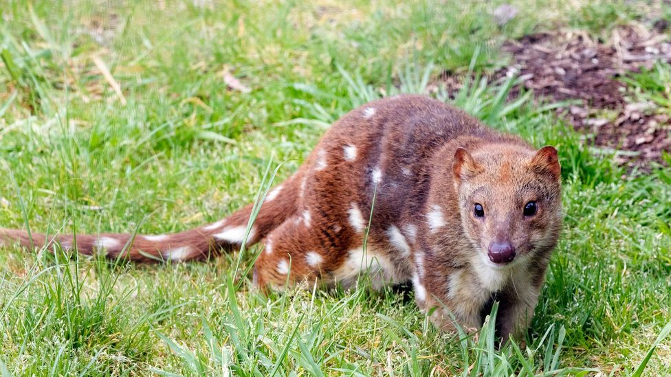 Some species of Australia's quolls already have been made locally extinct by invasive species, a trend that will intensify with climate change (Credit: Getty Images)