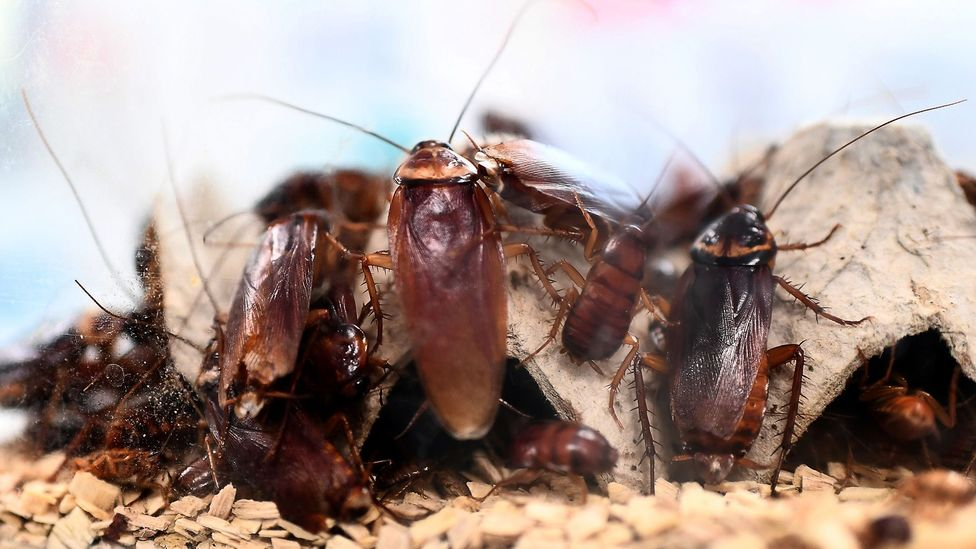 Cockroaches have survived every mass extinction event in history thus far (Credit: Getty Images)