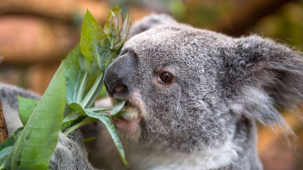 Climate change is increasing the risk of starvation for koalas (Credit: Getty Images)