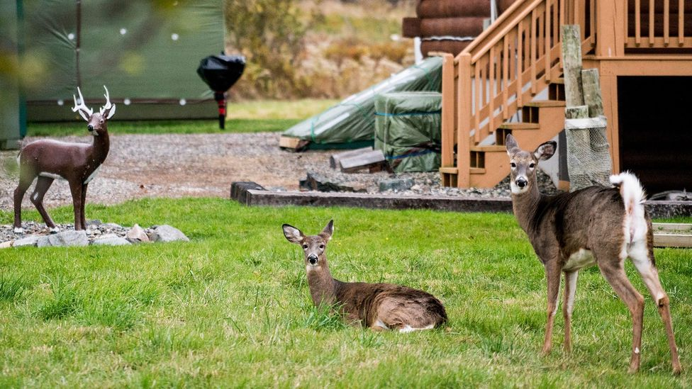 Deer, which thrive in states of change and transition, may be more resilient (Credit: Getty Images)