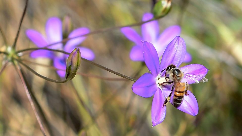 Endangered plants like the Brodiaea are likely to be increasingly vulnerable with climate change (Credit: Getty Images)