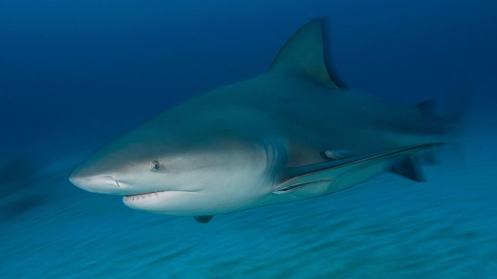 Bull sharks are aggressive animals that typically hunt in water with reduced visability (Credit: Getty Images)