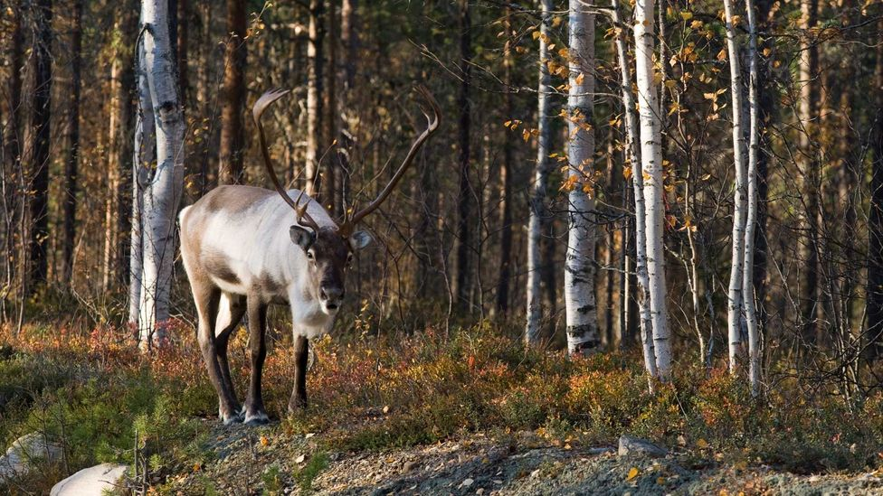 The highly endangered wild forest reindeer has benefitted from cross-border green belt areas in northern Europe (Credit: Getty Images)