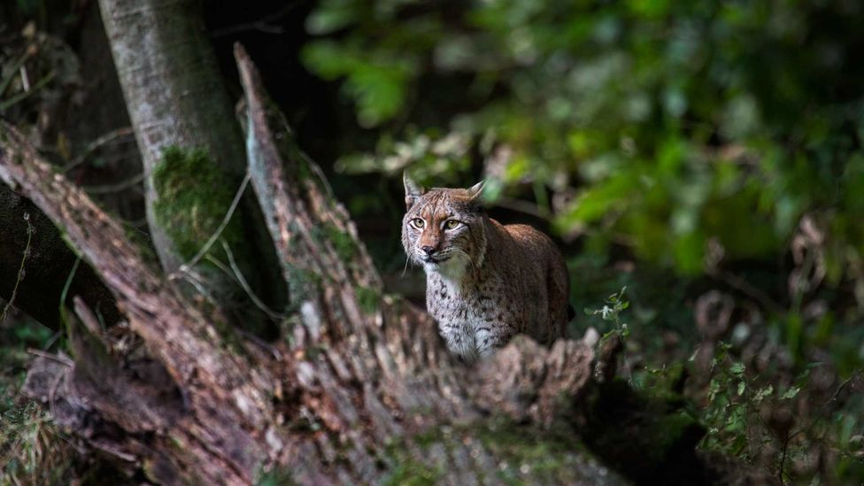 The endangered Balkan lynx, a subspecies of Eurasian lynx, roams hunting grounds across Albania, Kosovo, North Macedonia and Montenegro (Credit: Getty Images)