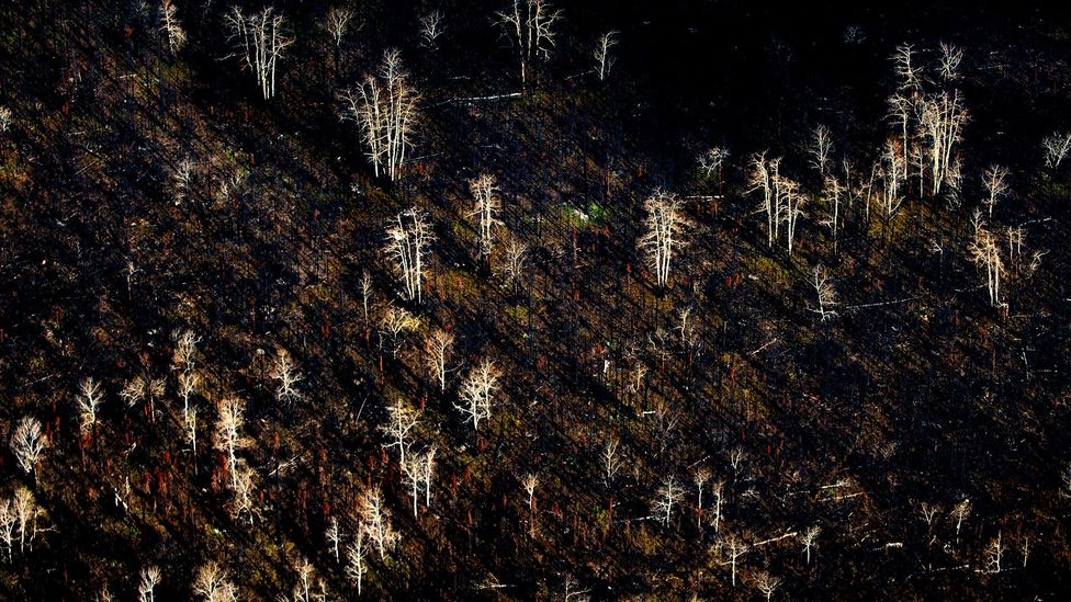 The balance of larch, birch and conifers in boreal forests around the Arctic are changing in the aftermath of forest fires as seedlings recolonise scorched land (Credit: Alamy)