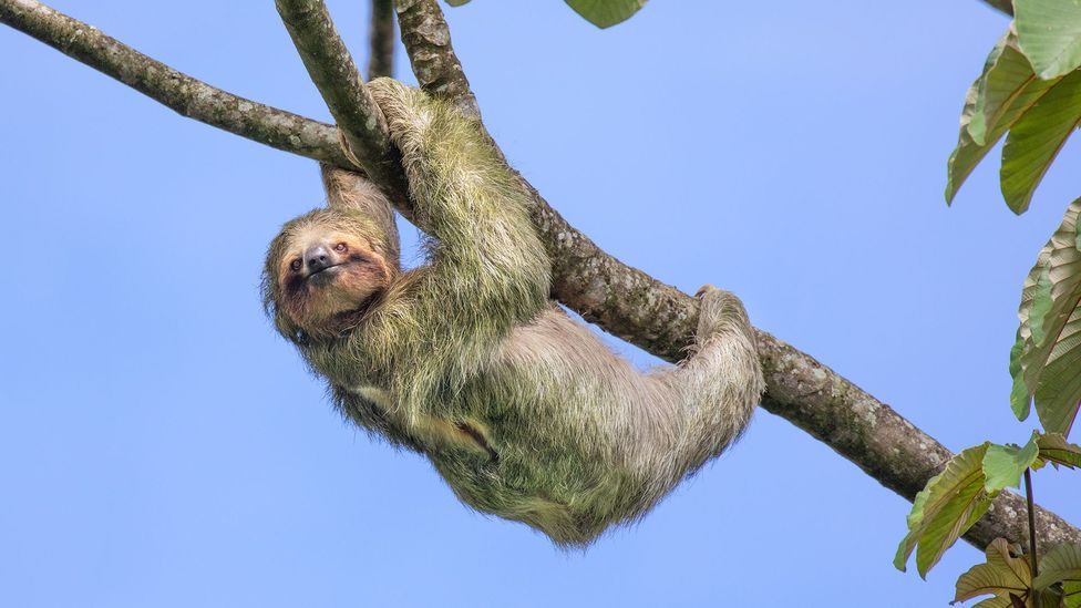 Sloth hanging from tree (Credit: Getty Images)