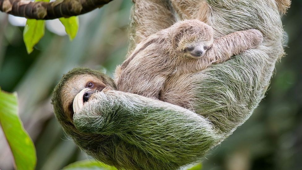 Baby sloths must constantly suckle because the mother only produces tiny amounts of milk at a time (Credit: Getty Images)