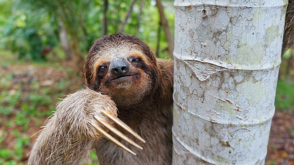 Sloths spend most of their lives in trees, away from rainforest predators (Credit: Getty Images)