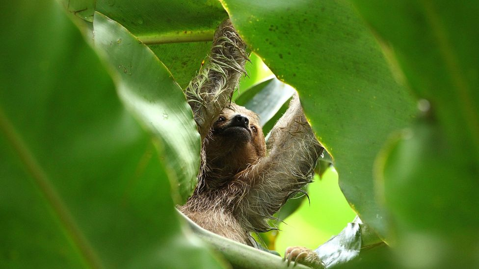 A sloth's diet of leaves is nurtitionally poor and low in calories (Credit: Getty Images)