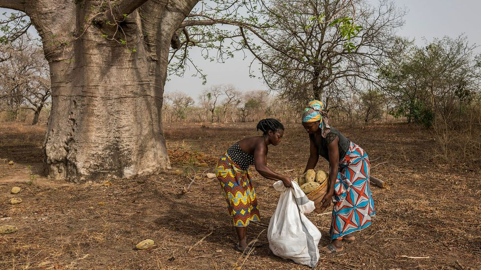 Women tend to harvest the baobab and carry them back to their village for processing (Credit: Aduna)