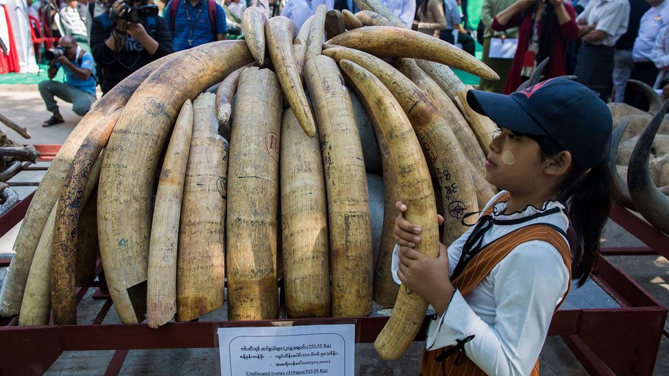 Knowing where ivory has come from can help to identify poaching hotspots and patterns so steps can be taken to protect animals better (Credit: Getty Images)