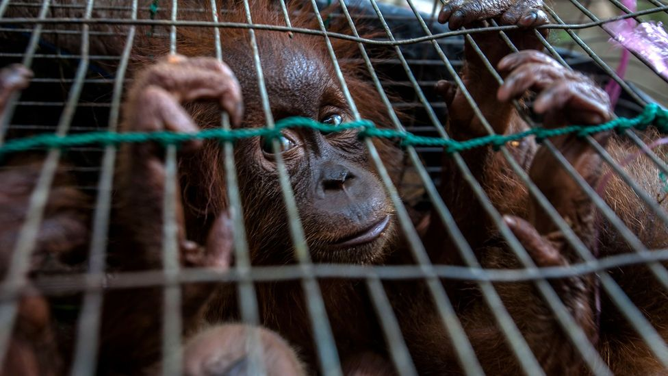 The illegal wildlife trade is the world's fourth biggest illicit industry yet it is largely overlooked compared to other types of crime (Credit: Getty Images)