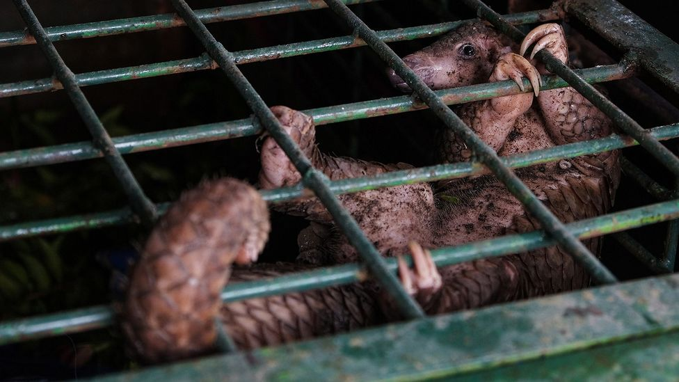 Pangolins are the world's most trafficked animal and they are now threatened with extinction (Credit: Getty Images)