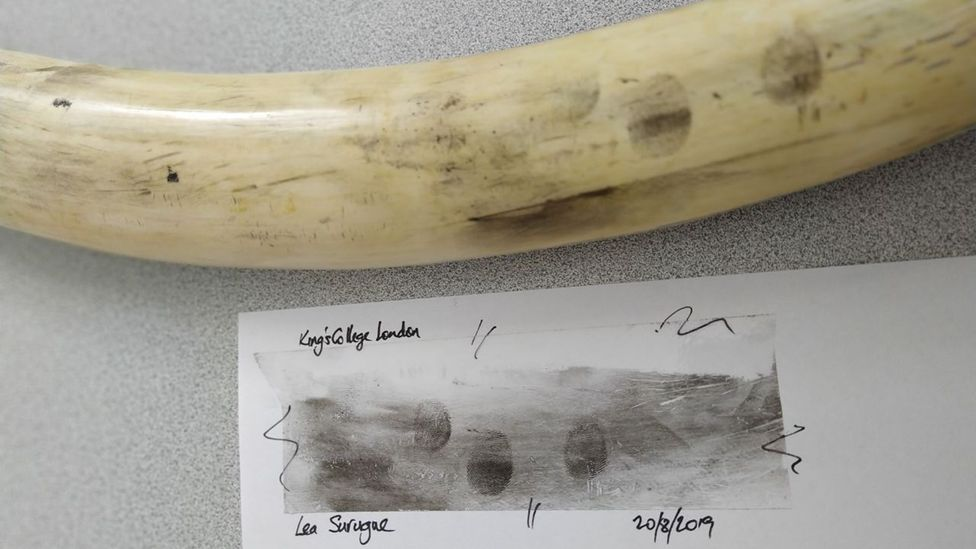 Fingerprints soak into the tiny pores on ivory over time, making them difficult to trace, but a new powder can reveal who touched tusks up to 28 days later (Credit: Lea Surugue)