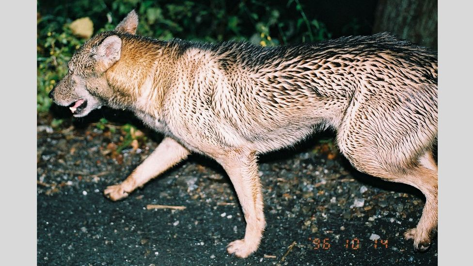 One of the 19 photographs Yagi took of the wolf-like animal that confronted him in 1996 (Credit: Hiroshi Yagi)