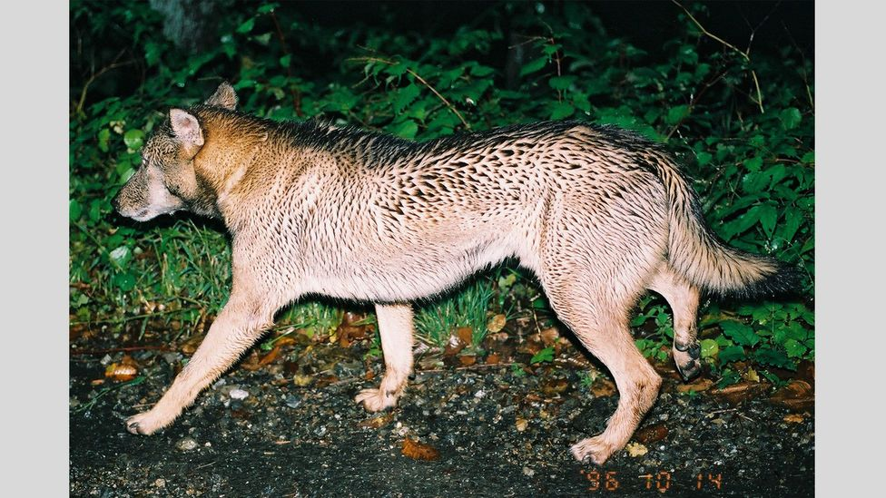 """Without conclusive evidence that the animal Yagi saw was a Japanese wolf, the creature became known as the Chichibu """"wild dog"""" (Credit: Hiroshi Yagi)"""
