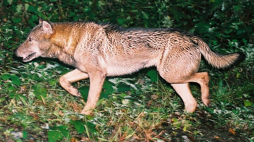 Smaller than you might imagine, the Japanese subspecies was similar in size and colouration to the living Mongolian or Tibetan wolf (Credit: Hiroshi Yagi)