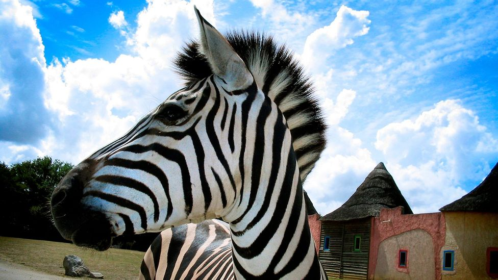 To our eyes the black and white stripes of a zebra is an unsusual pattern in the green brown environment of the African savannah (Credit: Getty Images)